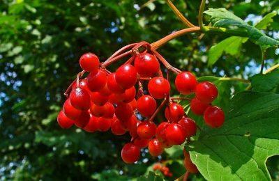 Лечебные свойства калины красной